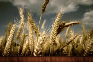 Валовые сборы украинской пшеницы сократятся на 4% по итогу 2017 года