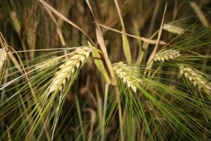 В 2017/18 МГ производство пшеницы ожидает сокращение как в Украине, так и на глобальном уровне