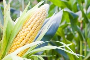 USDA: июльские прогнозы валового сбора зерновых в Украине на 2017/18 МГ
