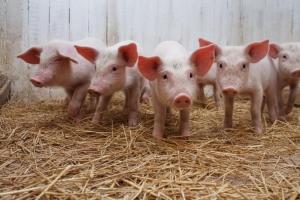У Нідерландах до 2030 року фермерів у секторі свинарства зменшиться на 71%