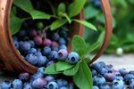 """Специалисты """"ПроАгро"""" обновили бизнес-план по выращиванию голубики"""